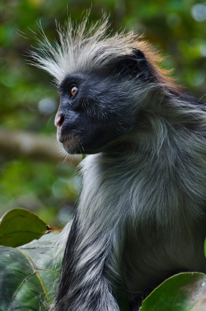 Zanzibar Red Colobus Monkey