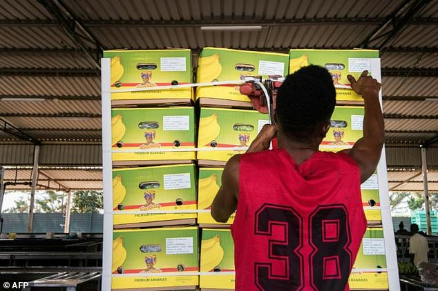 As many as 4,000 boxes of bananas are prepared daily, with the best-looking fruit earmarked for dispatch to foreign markets [Image Credit: AFP]